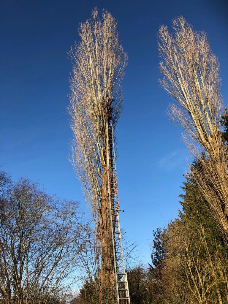 Élagage et abattage d'un grand arbre dangereux